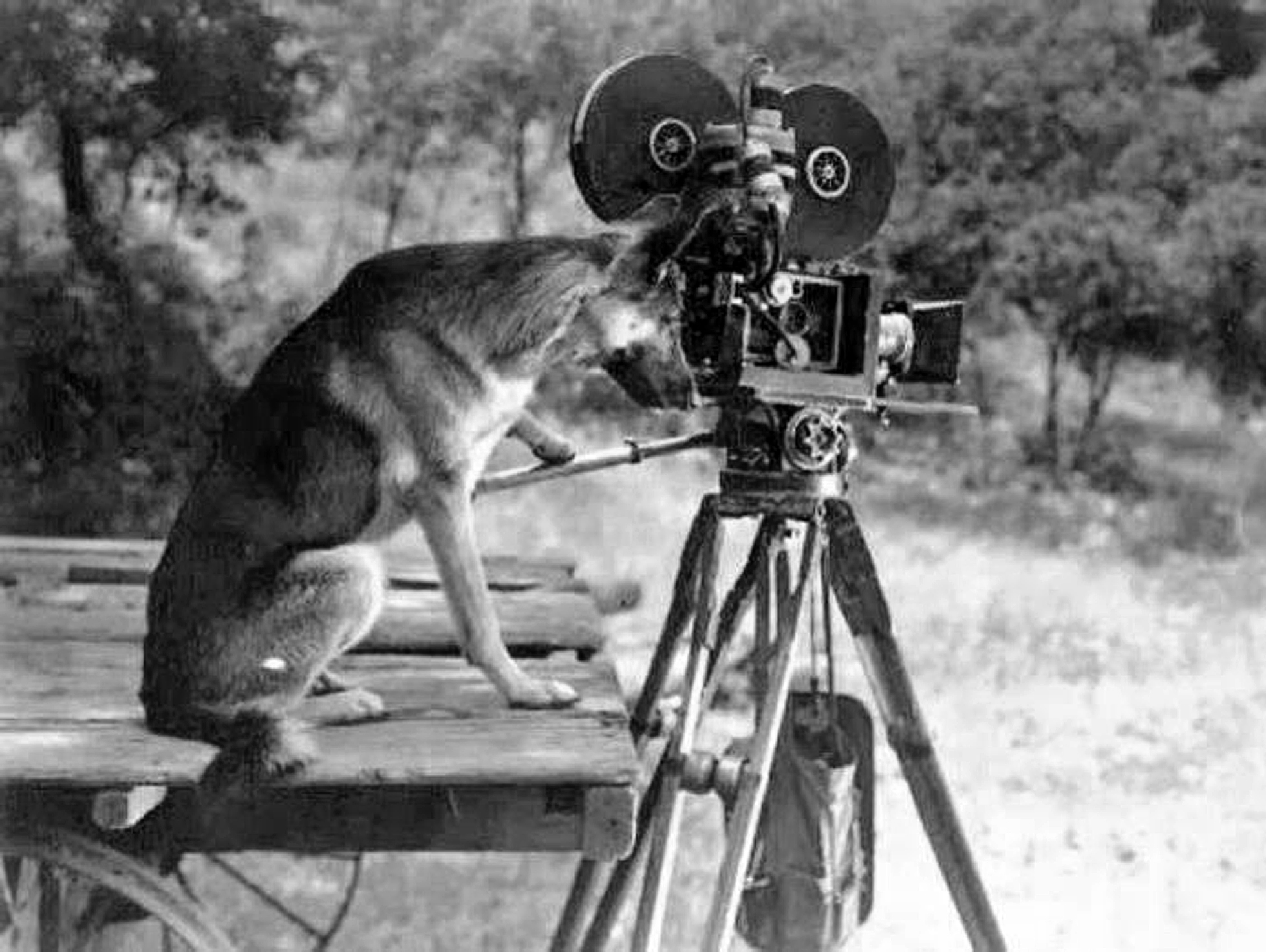 Rin Tin Tin at the camera